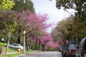 Tree - Lined Street Flowering